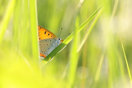 Butterfly (Large copper) on a spring morning