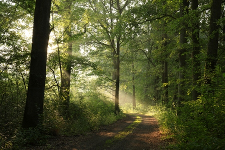 Country road through the oak forest in the morning