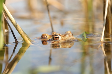 Frog in a pond during mating season on a sunny spring morning Stock Photo