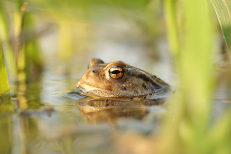 Frog in a pond during mating season on a sunny spring morning Imagens