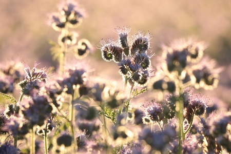 Lacy phacelia - Phacelia tanacetifolia during sunrise