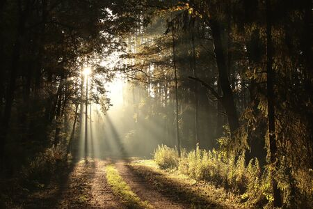 The rising sun falls into the autumn forest in foggy weather