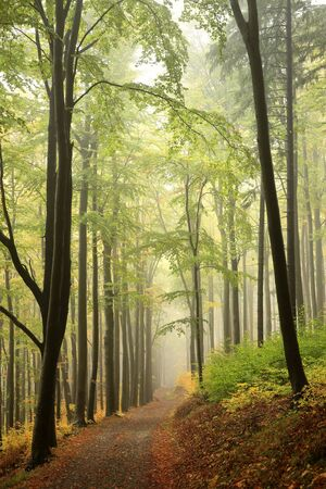 Mountain trail through the autumn beech forest in foggy weather