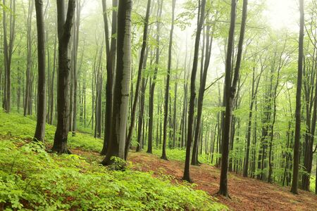 Beech trees in spring forest on a mountain slope in foggy, rainy weather