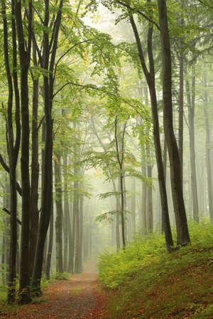 Path through the autumn beech forest in foggy weather Standard-Bild