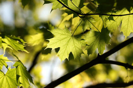 Spring maple leaves on a twig in the forest