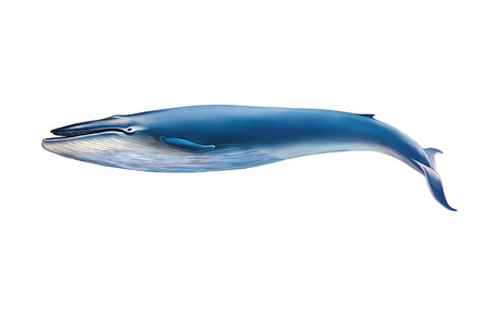 whale underwater: Blue whale isolated on white background