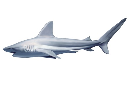 pounce: a large grey reef shark showing the mouth and teeth and isolated on white background Stock Photo