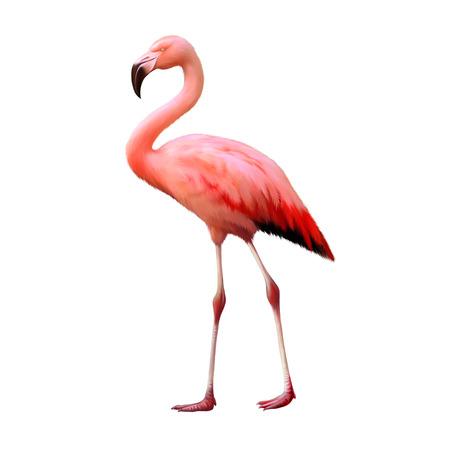 flamingo: flamingo isolated on white background