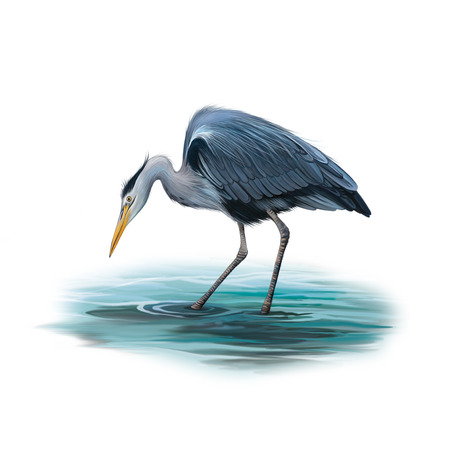 wader: Grey Heron standing in the water hunting with head bent down, Ardea Cinerea, isolated on white