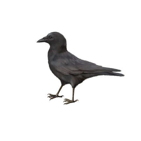 carrion: Side view of a Carrion Crow, Corvus corone, isolated on white Stock Photo