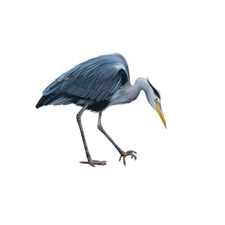 wading: Grey Heron standing in the water hunting with head bent down, Ardea Cinerea, isolated on white