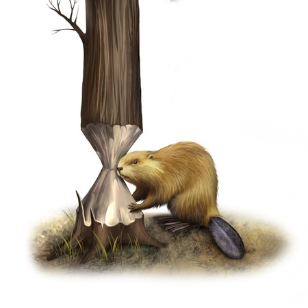 beaver tail: North American Beaver gnawing the tree Stock Photo
