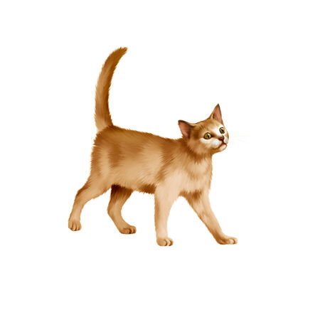 Red British kitten walks against white background photo