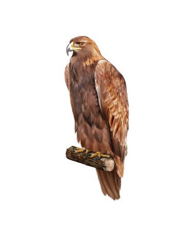 chrysaetos: golden eagle, Aquila chrysaetos, orel skalni
