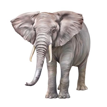 national animal: African elephant, Loxodonta africana Stock Photo