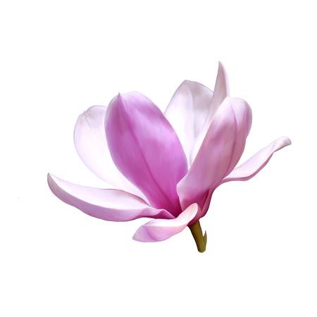 Illustration of a magnolia flower illustration