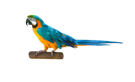 endothermic: Colorful blue parrot macaw Stock Photo