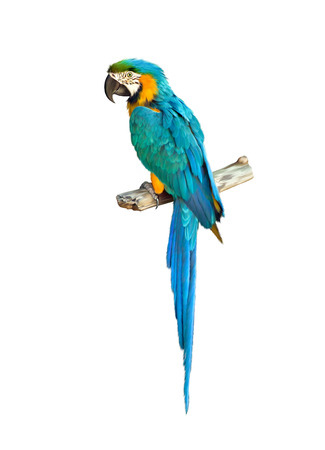 parrot tail: Colorful blue parrot macaw Stock Photo
