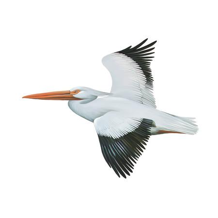 American White Pelican photo