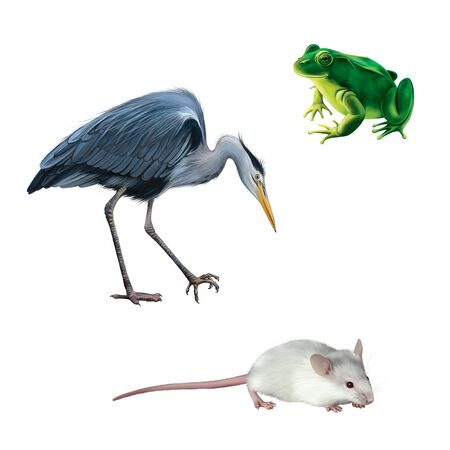 water bird: illustration of Crane bird, white mouse and green frog isolated on white background, Grey Heron standing in the water hunting with head bent down, Ardea Cinerea,