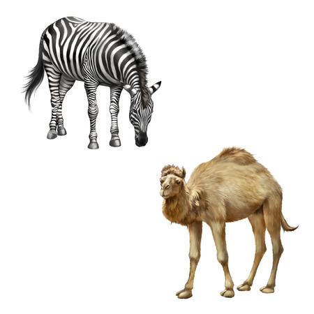 camel hump: The domestic camel standing and zebra bent down eating grass , Isolated on white Stock Photo