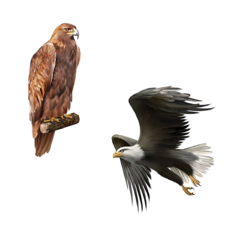 chrysaetos: golden eagle (Aquila chrysaetos) orel skalni, merican bald eagle in flight isolated on white background
