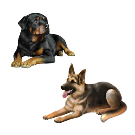 shepard: german shepard dog and Rottweiler laying down isolated on white background
