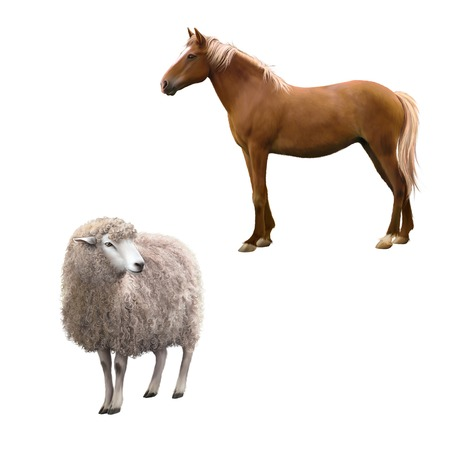 full willow: Mixed breed horse standing, Front view of a Sheep looking away.  illustration isolated on white background Stock Photo