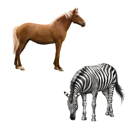full length herbivore: Mixed breed horse standing, zebra bent down eating grass . Vector isolated on white background Stock Photo