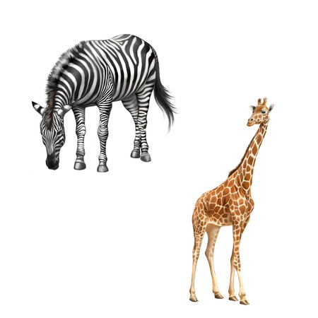 zebra bent down eating grass, Beautiful adult Giraffe looking at us, illustration isolated on white background