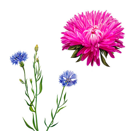 aster: Aster. Pink flower, Spring flower. Knapweed flower on white background. illustration of blue little flwoers