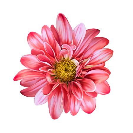 mona lisa: Mona Lisa flower, Red flower, Spring flower.Isolated on white background.