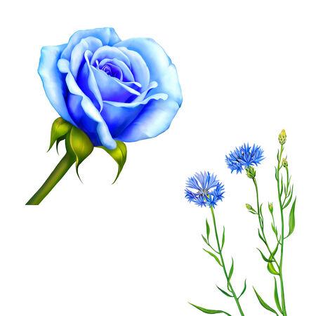 bluet: Knapweed flower on white background. illustration of blue little flwoers, Blue Rose Flower