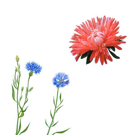 aster: Aster. Pink flower, Spring flower. Knapweed flower on white background. illustration of blue little flwoers