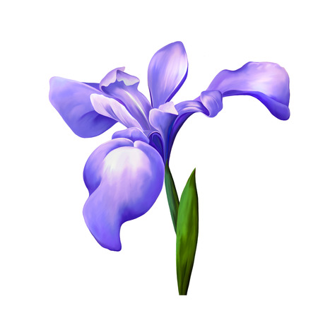 violet iris flower isolated on white background, illustration, of a pink iris blossom with bud on a white background.