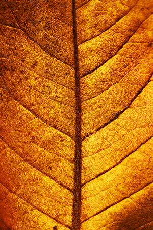 autumn magnolia leaf, very shallow focus, macro photography photo
