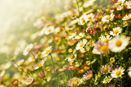 natural landscape: Field Chamomile flowers, white daisies in the nature, spring flowers