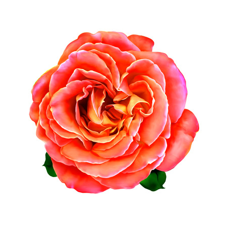 flower border pink: Pink Rose Flower with little green leaves. Spring flower isolated on white background Stock Photo