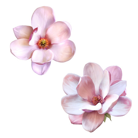 Illustration of a tender pink magnolia flower isolated on white background 스톡 콘텐츠