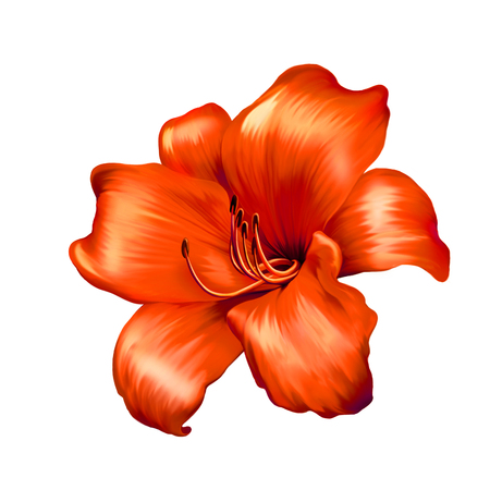illustration of red lily flower isolated on white background illustration