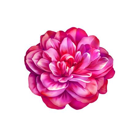 Beautiful bright Rose Camellia Flower isolated on white background Stock Photo