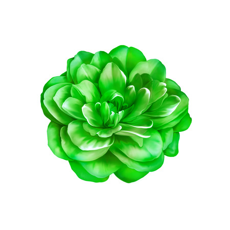 Beautiful bright Green Rose Camellia Flower isolated on white background Stock Photo