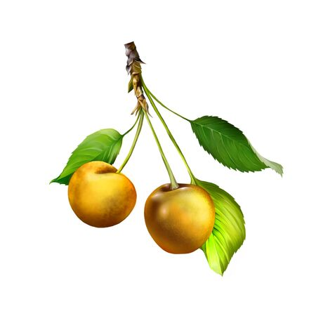 Yellow Cherry isolated on white background, Cherries hanging on a cherry tree branch photo