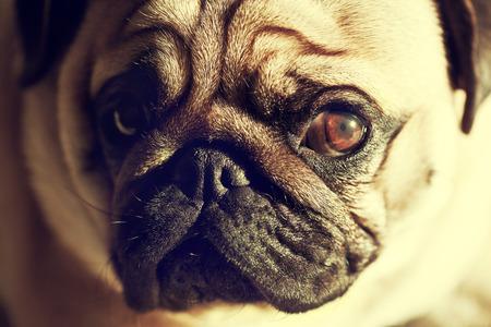 Close up face of Cute pug puppy dog looking sad, sunshine, Sleep packground photo