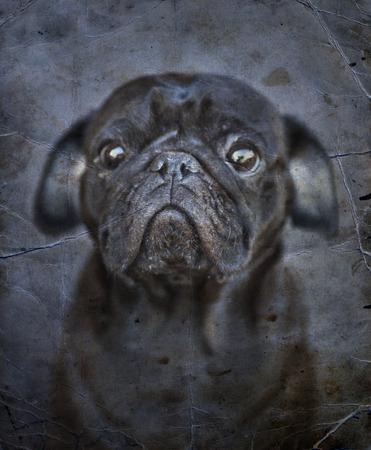 black dog: Black cute male pug on black backgroundpug, Close-up of Pug