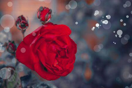 sfondo romantico: bellissimo sfondo romantico con rosa rossa