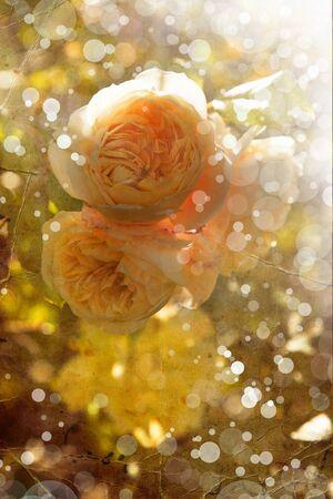 sfondo romantico: sfondo romantico con petali di rose gialle,