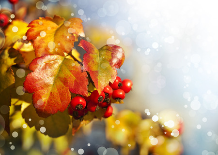 Fall background with yellow leaves, red berries Stock Photo