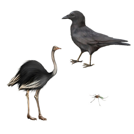 carrion: Carrion Crow, Corvus corone, ostrich isolated